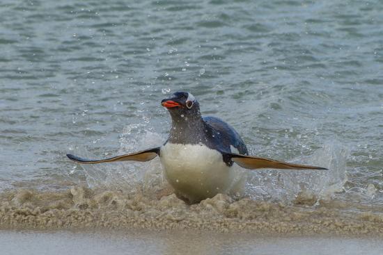 cathy-gordon-illg-falkland-islands-bleaker-island-gentoo-penguin-surfing