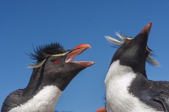 cathy-gordon-illg-falkland-islands-bleaker-island-rockhopper-penguins-greeting