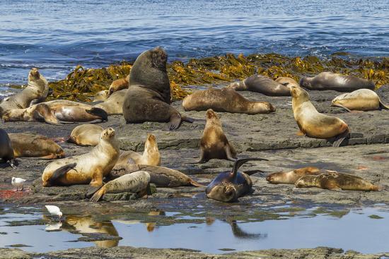 cathy-gordon-illg-falkland-islands-bleaker-island-southern-sea-lions-near-water