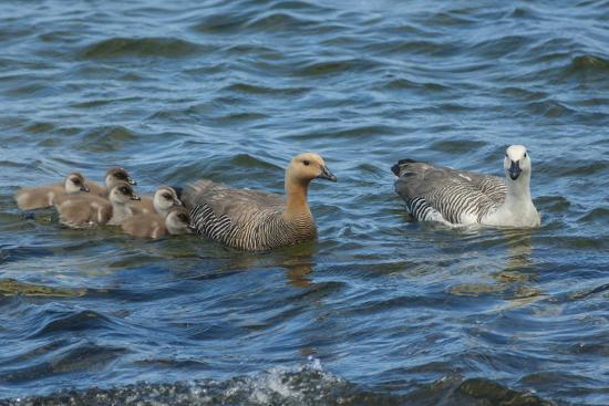 cathy-gordon-illg-falkland-islands-bleaker-island-upland-goose-family-swimming