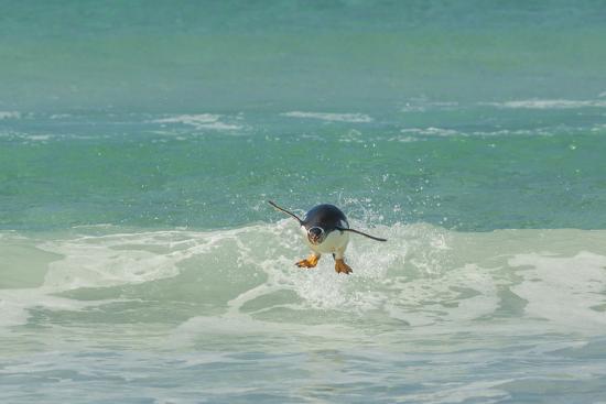 cathy-gordon-illg-falkland-islands-east-falkland-gentoo-penguin-leaping-in-surf