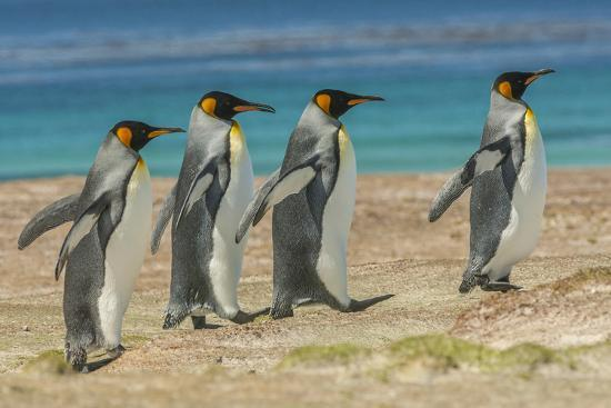 cathy-gordon-illg-falkland-islands-east-falkland-king-penguins-walking