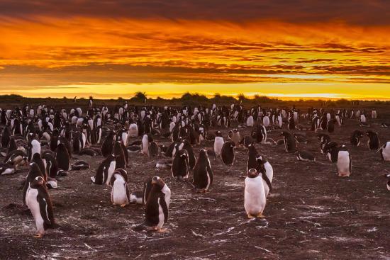 cathy-gordon-illg-falkland-islands-sea-lion-island-gentoo-penguins-colony-at-sunset