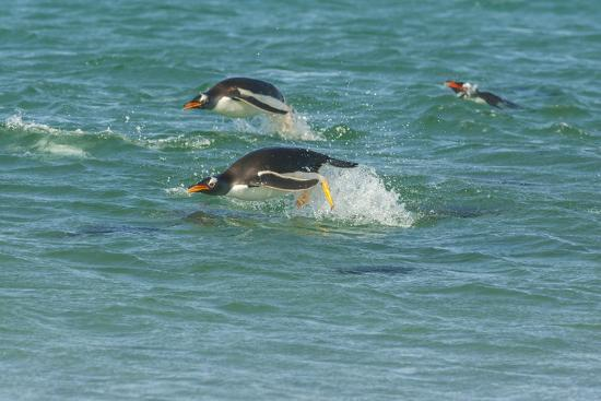 cathy-gordon-illg-falkland-islands-sea-lion-island-gentoo-penguins-porpoising