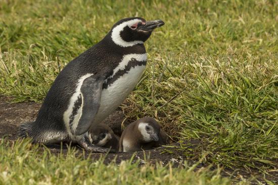 cathy-gordon-illg-falkland-islands-sea-lion-island-magellanic-penguin-and-chicks