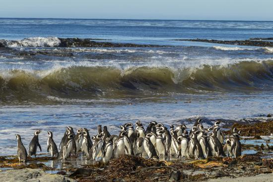 cathy-gordon-illg-falkland-islands-sea-lion-island-magellanic-penguins-and-surf