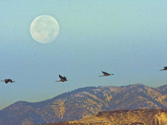 cathy-gordon-illg-sandhill-cranes-bosque-del-apache-national-wildlife-refuge-new-mexico-usa