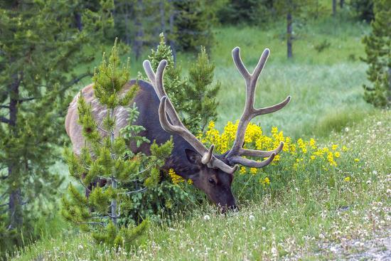cathy-gordon-illg-usa-colorado-rocky-mountain-national-park-bull-elk-grazing
