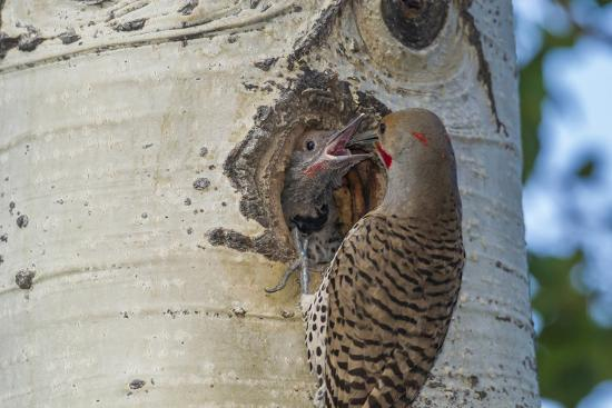 cathy-gordon-illg-usa-colorado-rocky-mountain-np-red-shafted-flicker-feeds-nestling