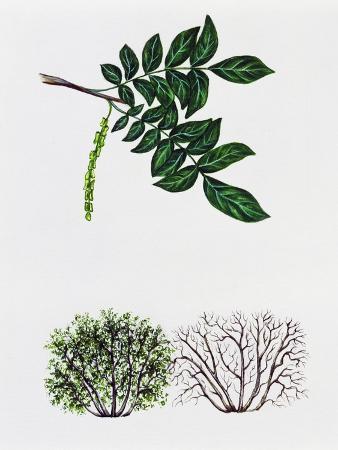 caucasian-wingnut-or-caucasian-walnut-plerocarya-fraxinifolia