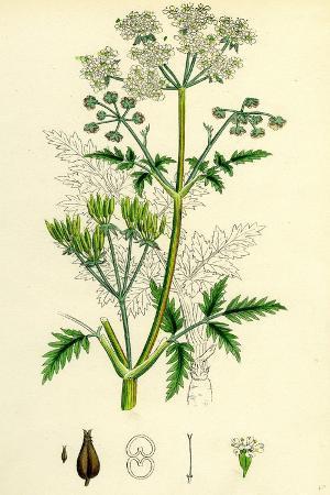chaerophyllum-sylvestre-wild-chervil