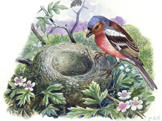 chaffinch-fringilla-coelebs-building-nest