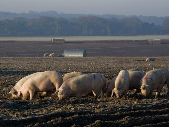 charles-bowman-free-range-pig-farming-wiltshire-england-united-kingdom-europe