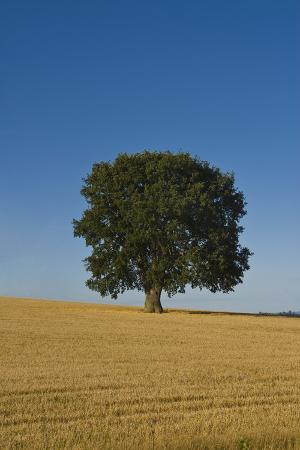 charles-bowman-solitary-oak-tree-stands-in-a-cropped-field
