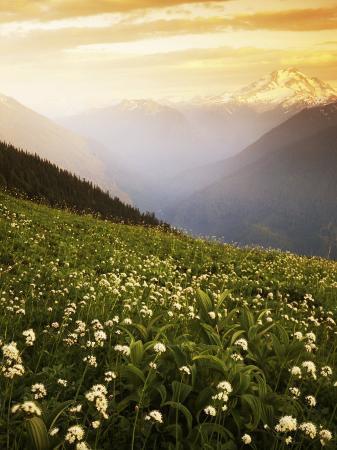 charles-gurche-meadow-with-helebore-and-sitka-valerian-on-green-mountain-glacier-peak-wilderness-washington-usa