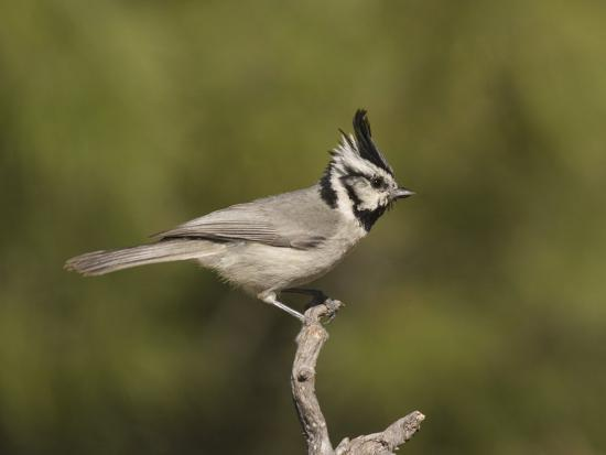 charles-melton-bridled-titmouse-baeolophus-wollweberi-on-a-branch-southern-arizona-usa