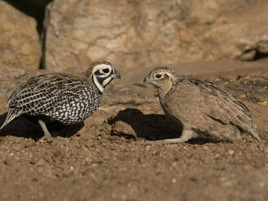 charles-melton-montezuma-or-mearns-quail-male-and-female-cyrtonyx-montezumae-scratching-for-food