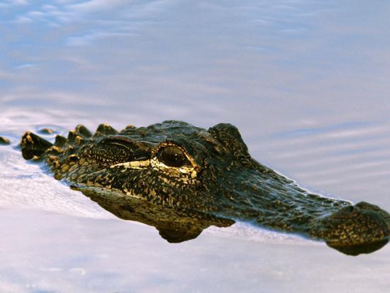charles-sleicher-alligator-lying-in-wait-for-prey-ding-darling-nwr-sanibel-island-florida-usa