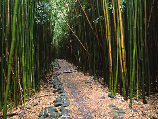 charles-sleicher-bamboo-forest-on-the-waimoku-falls-trail-south-of-hana-maui-hawaii-usa