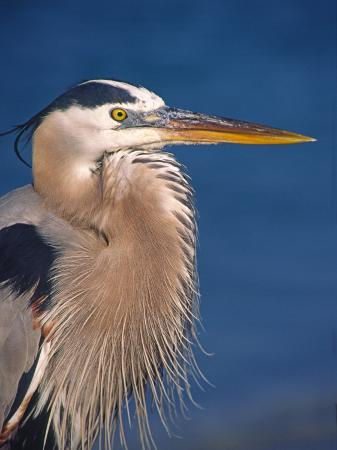 charles-sleicher-great-blue-heron-sanibel-island-florida-usa