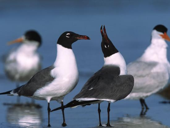 charles-sleicher-laughing-gull-courtship-display-florida-usa