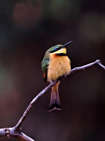 charles-sleicher-little-bee-eater-kenya