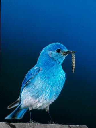 charles-sleicher-mountain-bluebird-in-yellowstone-national-park-wyoming-usa