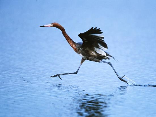 charles-sleicher-reddish-egret-fishing-sanibel-island-ding-darling-national-wildlife-refuge-florida-usa