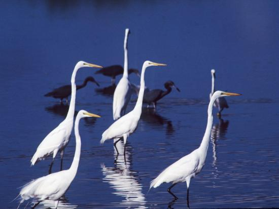 charles-sleicher-six-great-egrets-fishing-with-tri-colored-herons-ding-darling-nwr-sanibel-island-florida-usa