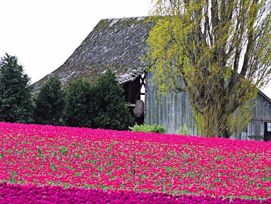 charles-sleicher-tulip-field-and-barn-skagit-valley-washington-usa