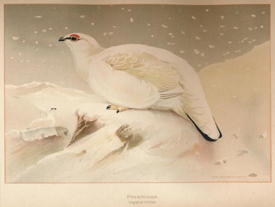 charles-whymper-ptarmigan-lagopus-mutus-1900-1900