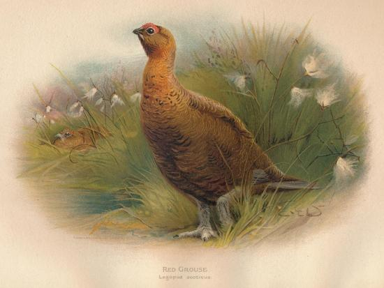 charles-whymper-red-grouse-lagopus-scoticus-1900-1900