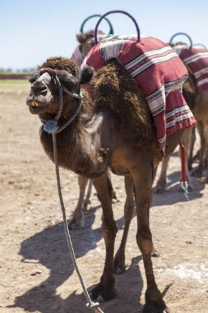 charlie-harding-a-camel-just-outside-of-marrakesh-morocco-north-africa-africa