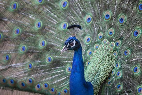 charlie-harding-peacock-cotswold-wildlife-park-costswolds-gloucestershire-england-united-kingdom-europe