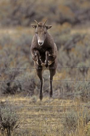 charlie-summers-rocky-mountain-bighorn-sheep-ovis-canadensis-female-jumping-barbed-wire-fence-montana-usa