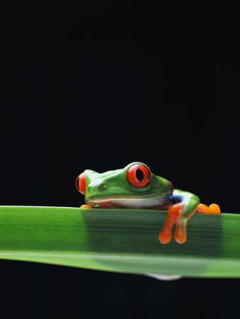 chase-swift-red-eyed-tree-frog