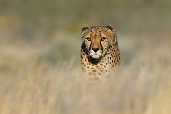 cheetah-acinonyx-jubatus-in-a-field-etosha-national-park-namibia