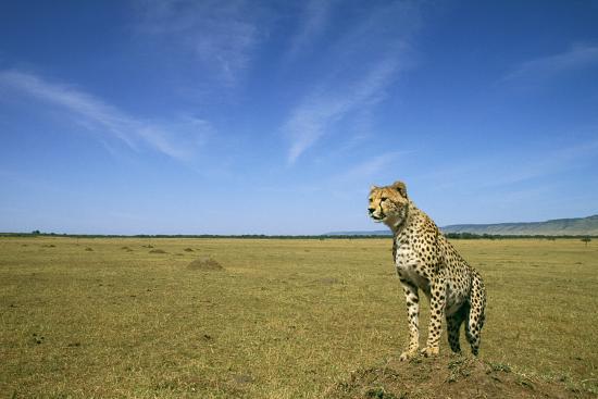 cheetah-standing-on-vantage-point