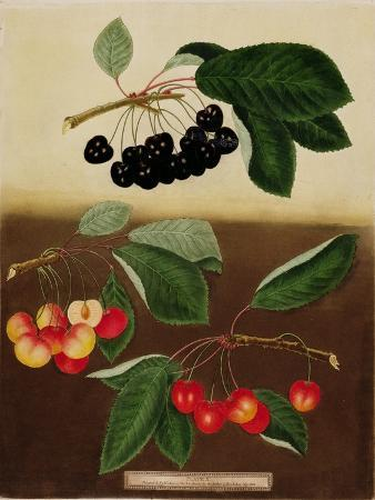 cherries-black-and-red-painted-and-pub-by-g-brookshaw-1805