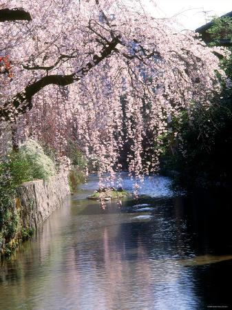 cherry-blossoms-and-a-river