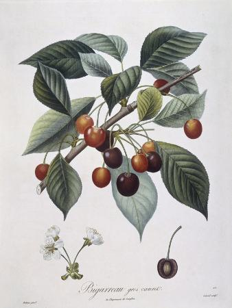 cherry-tree-prunus-avium-bigarreau-henry-louis-duhamel-du-monceau