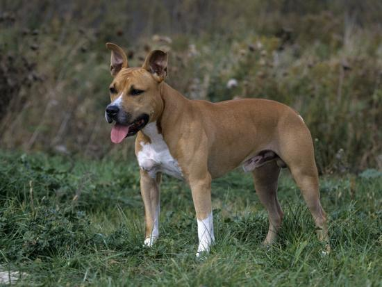 cheryl-ertelt-american-staffordshire-terrier-variety-of-domestic-dog