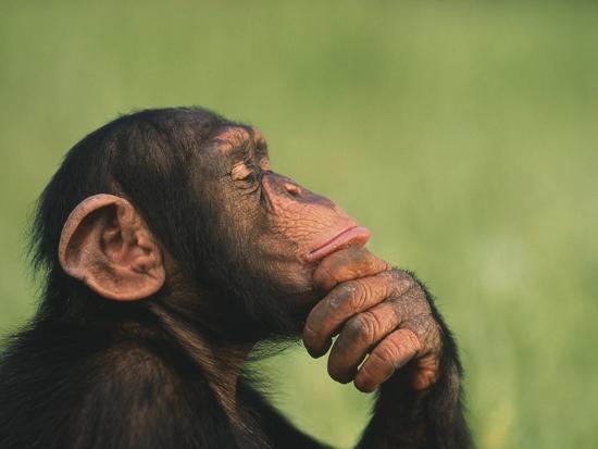 chimpanzee-resting-chin-in-hand