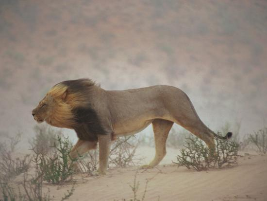 chris-johns-a-lion-pushes-on-through-a-gritty-wind-in-the-nossob-riverbed