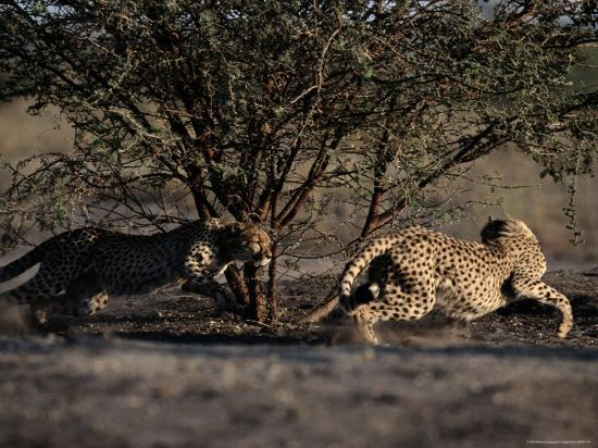 chris-johns-a-pair-of-african-cheetahs-chase-each-other-around-a-tree