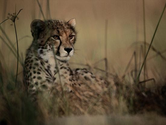 chris-johns-a-portrait-of-an-african-cheetah-resting-in-the-tall-grass