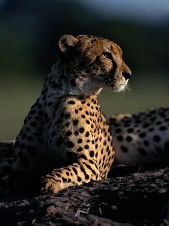 chris-johns-a-portrait-of-an-african-cheetah