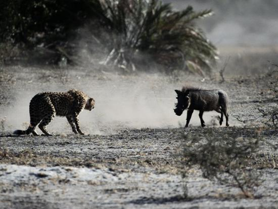 chris-johns-an-african-cheetah-and-a-warthog-kick-up-clouds-of-dust-in-a-tense-confrontation