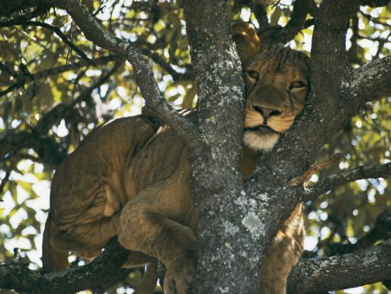 chris-johns-lioness-resting-in-the-crotch-of-a-tree