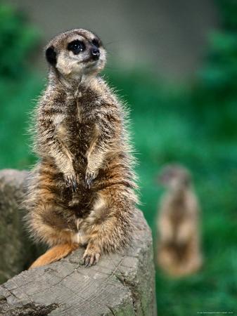 chris-mellor-meerkat-on-tree-trunk-united-states-of-america